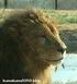 ライオン_901