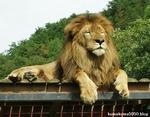 ライオン_905