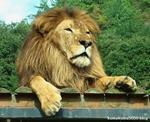 ライオン_906