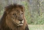 ライオン_908