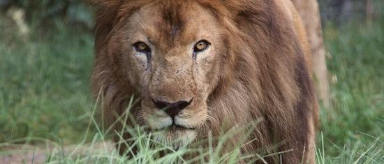 ライオン_859