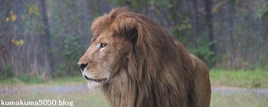 ライオン_928