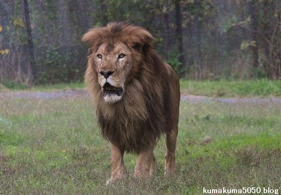 ライオン_1007
