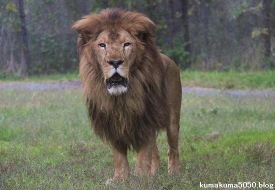 ライオン_1008