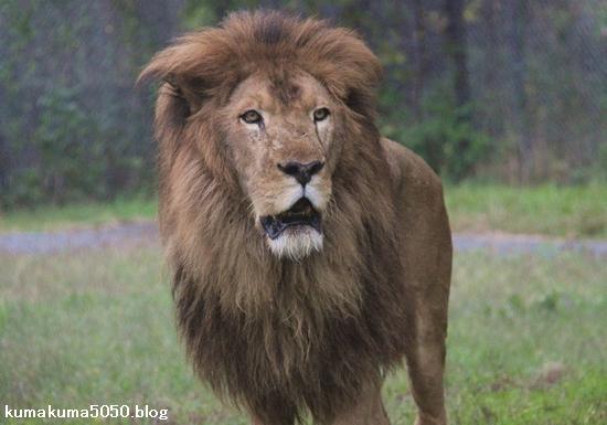 ライオン_1009