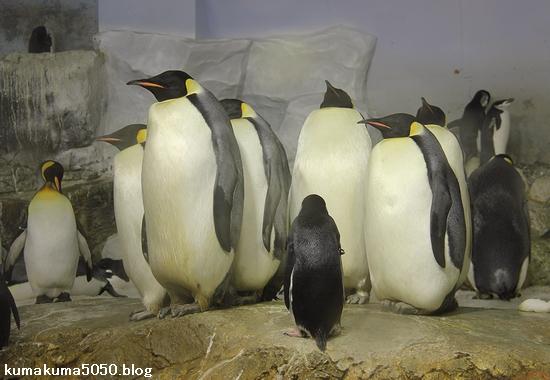 キングペンギン_28