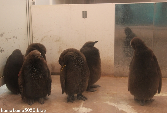 キングペンギン_30
