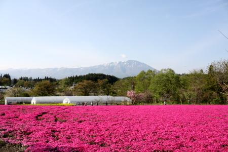 芝桜 満開♪