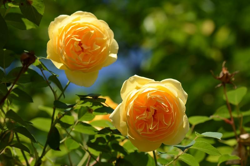 20140511 rose3