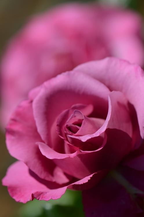 20140511 rose6