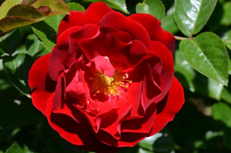 20140511 rose7