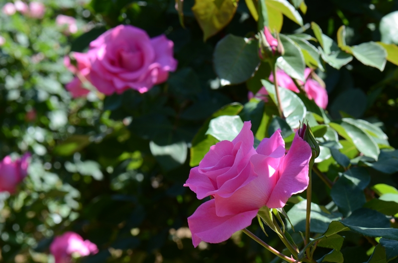20140511 rose8