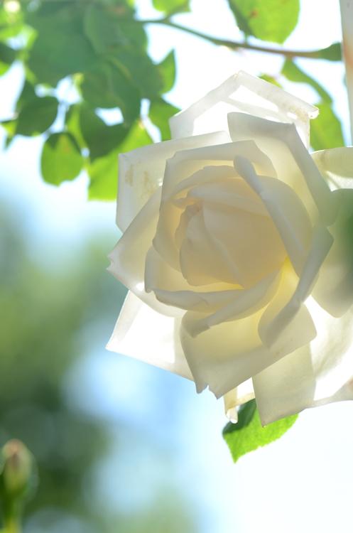 20140511 rose13