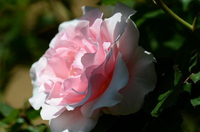 20140511 rose14