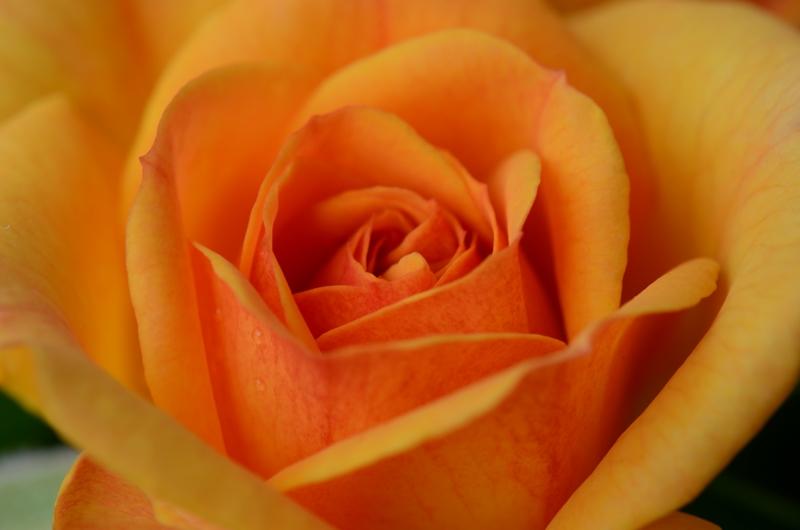 20140515 rose1