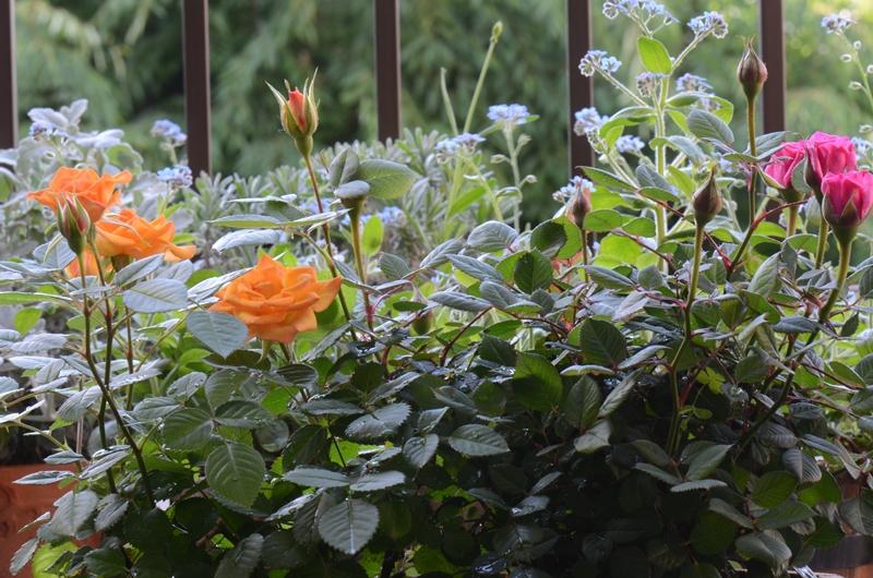 20140516 rose1