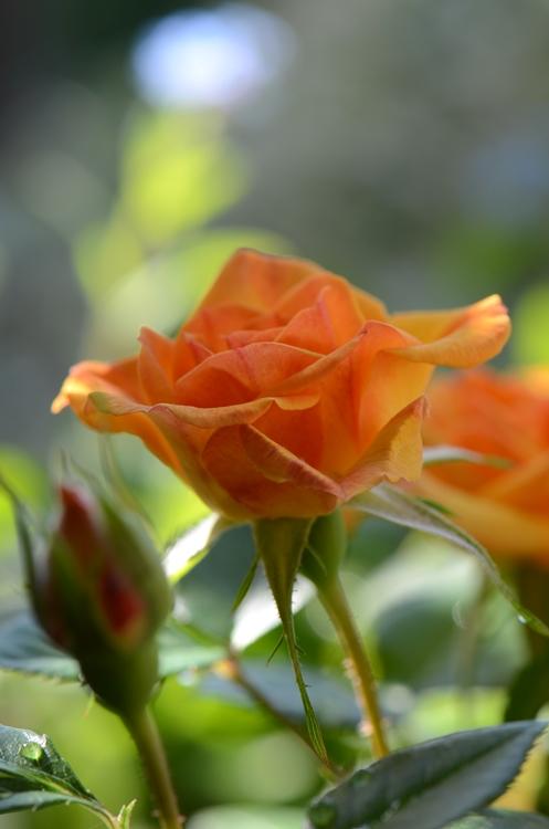 20140517 rose2
