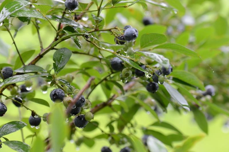 20140720 berry1