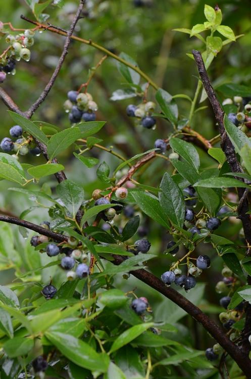 20140720 berry4