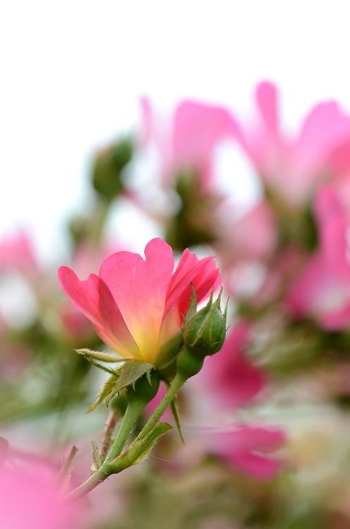 20141011 rose1