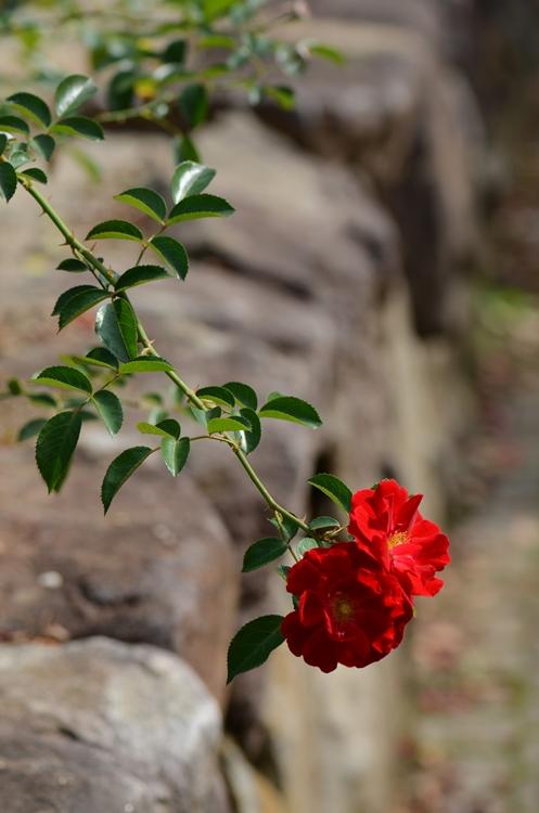 20141011 rose4