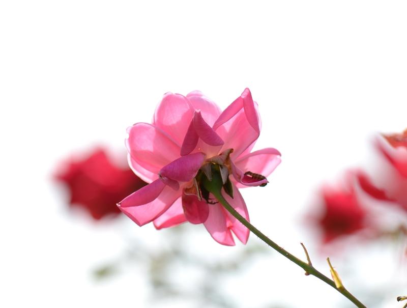 20141011 rose7