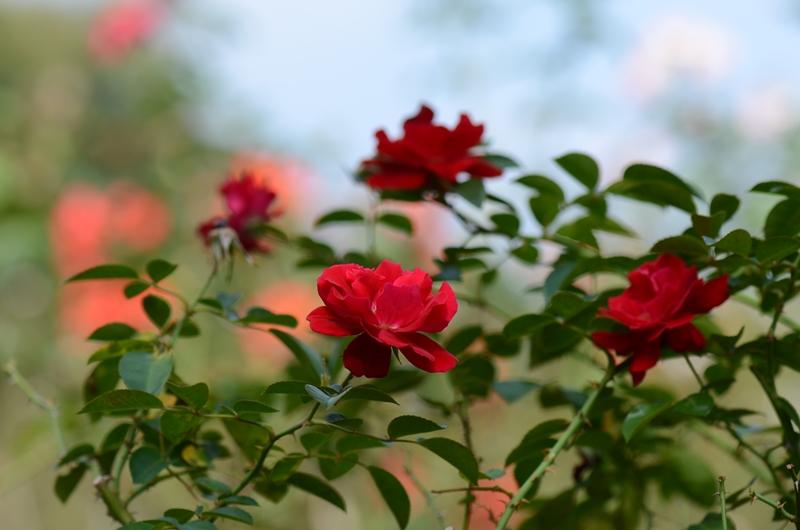 20141011 rose11