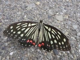 アスファルトに揚羽蝶