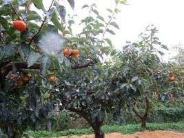 雨に濡れる柿畑