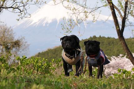 富士山とパグ