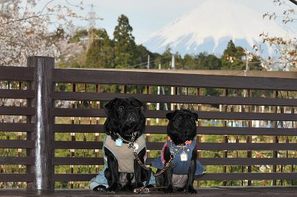 富士山とパグ 2