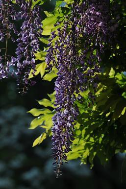 藤の花 3