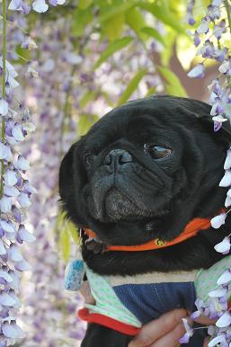 りきと藤の花