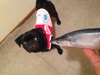 秋刀魚だよぉ~
