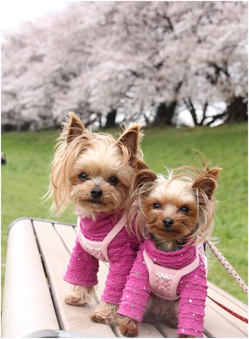 桜とクルココ2