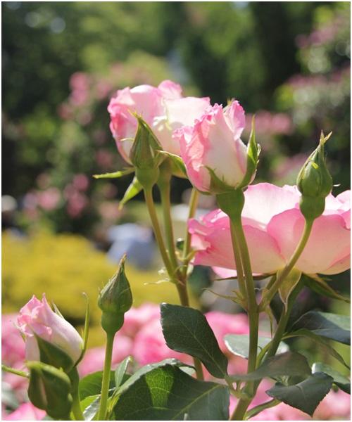 うつぼのバラ