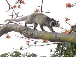 250px-Palm_civet_on_tree_(detail).jpg