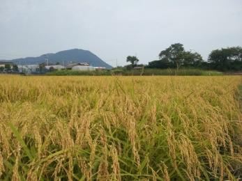 稲刈り2014-3