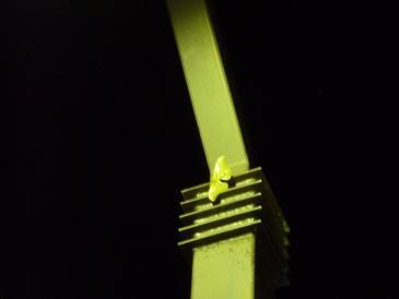 灯火のクスサン