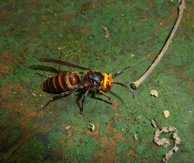 コガタスズメバチ♂-1