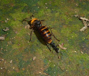 コガタスズメバチ♂-2