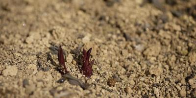 Echinacea purpurea Piccolino
