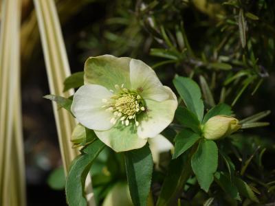H.orientalis caucasicus