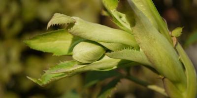 H.argutifolius