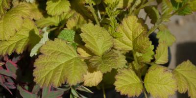 Rubus parvifolius Sunshine Sprender