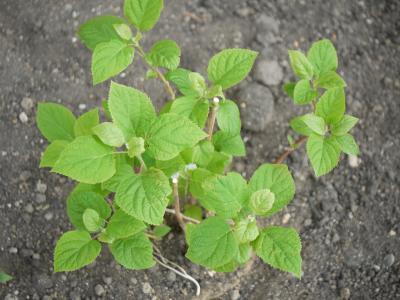 Hydrangea arboescens Annablle