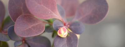 紅メギ Rose Glow