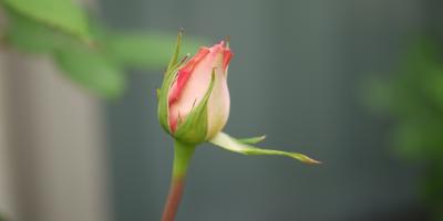 バラ ピンク