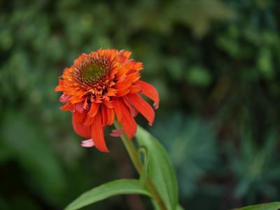 Echinacea Hot Papaya