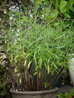 Salvia reptans West Texs Form